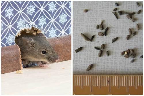 Мышиная норка и мышиный помет