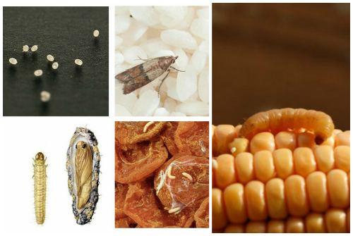 из всех форм наиболее вредны личинки