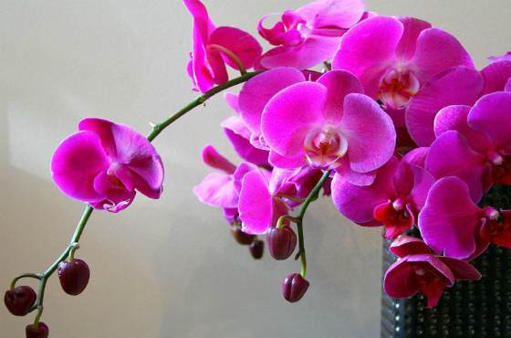 Орхидея Как правильно выращивать дома чтобы красиво цвела?