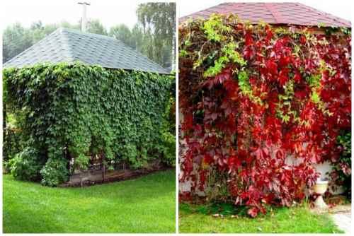 Девичий виноград летом и осенью