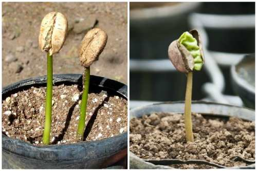 Выращивание из зерен