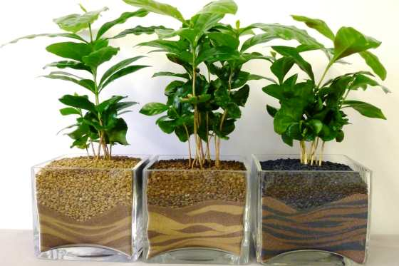 Подкормка кофейного дерева в домашних условиях