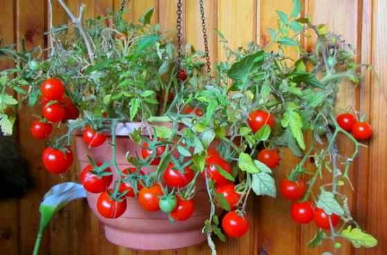 Томат Горшечный красный характеристика и описание сорта выращивание с фото