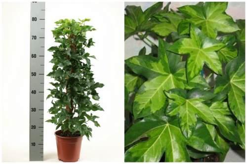 Высота и внешний вид листьев