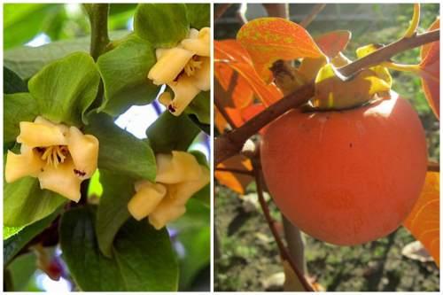 цветы и плод