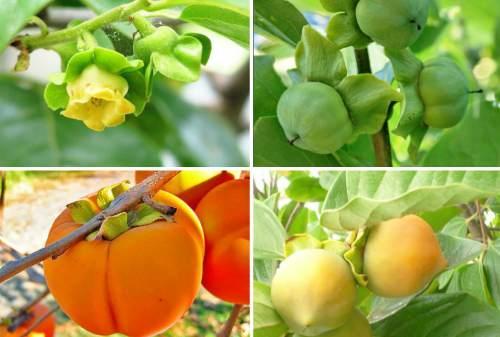 от цветения до сбора урожая