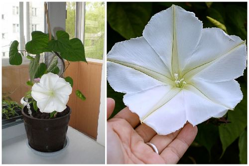 Ipomoea Moonflower