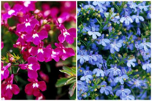 Regatta Rose и Regatta Sky Blue