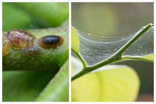 щитовка и паутинный клещ