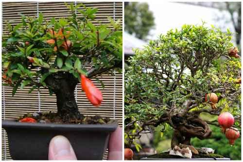 цветущий и плодоносящий бонсай