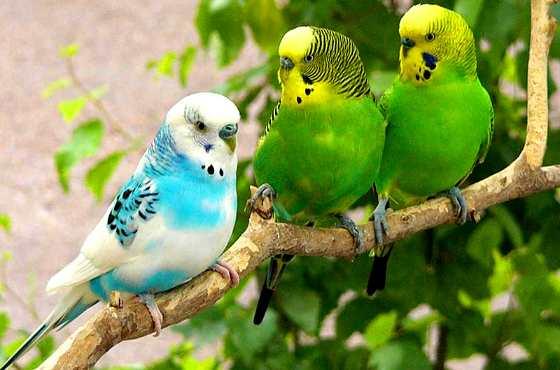 домашние волнистые попугайчики