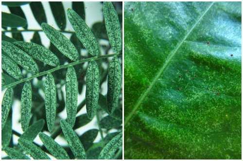 мраморность листьев