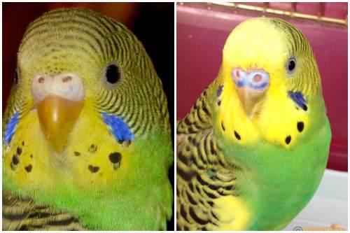 птенец и взрослая птица