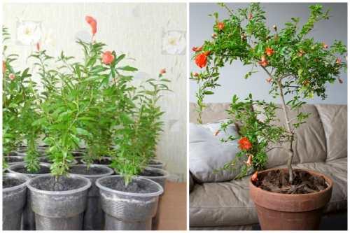 саженцы и более взрослое дерево