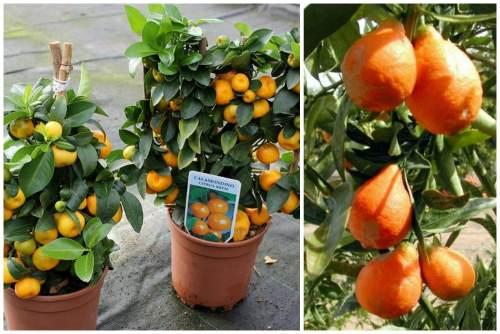 каламондин и оранжекват