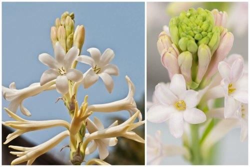 махровые цветы