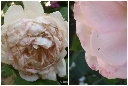 поврежденные розы