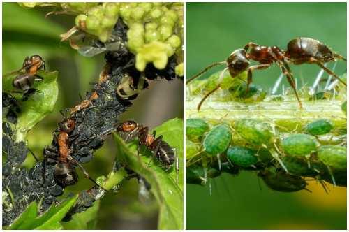 привлекает муравьев