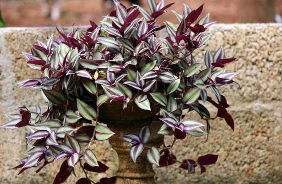 Традесканция – одно из самых красивых садовых растений, которое…: mettiss — LiveJournal