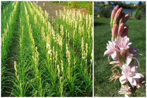 выращивание полиантеса