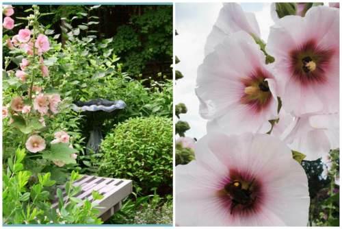 цветение шток-розы