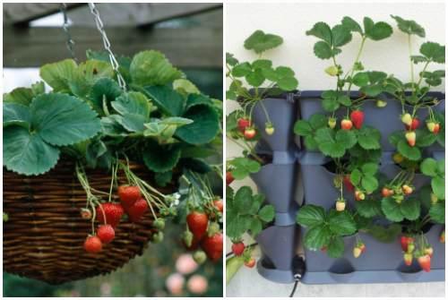 выращивание в горшках и контейнерах