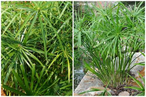 Cyperus alfernifolius