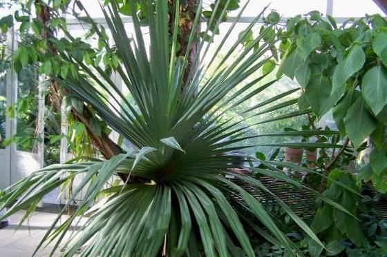 Панданус- винтовая пальма