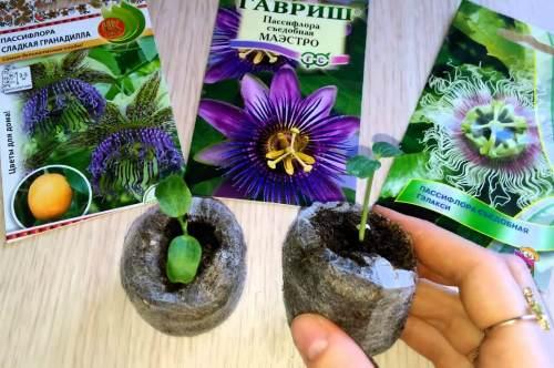 пассифлора из семян
