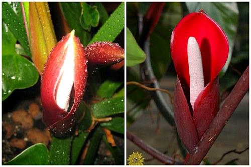 Цветы филодендрона