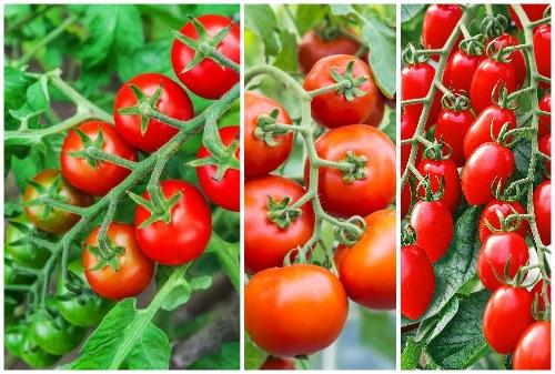 гроздья томатов