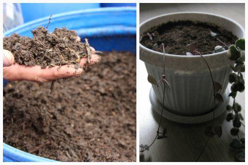 Почва для церопегии