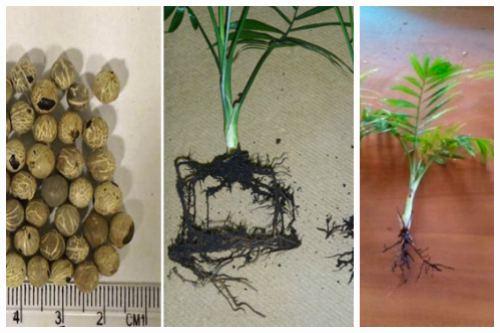 Размножение домашней пальмы