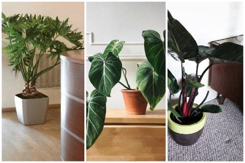 Дольчатый филодендрон - особенности выращивания в домашних условиях видео