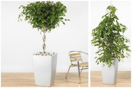 Ficus benjamina f. Exotica