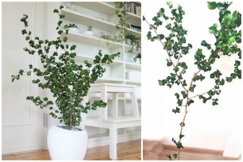 Ficus benjamina f.Barok