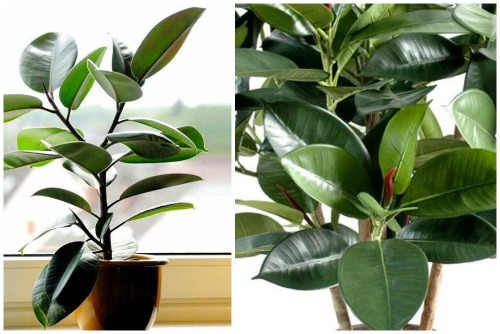 Ficus elastika Robusta