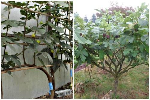 фиговое дерево в открытом грунте