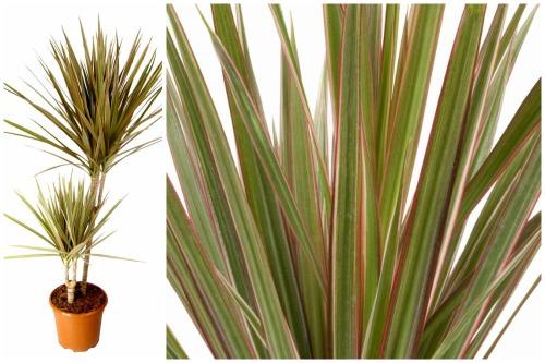 marginata bicolor