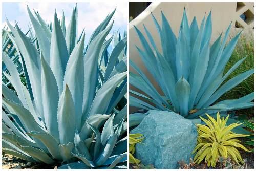 Голубая агава