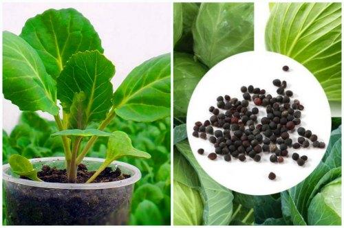 Семена капусты и рассада