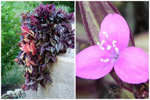 цветение зебрины