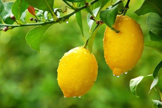 Как вырастить лимонное дерево в домашних условиях