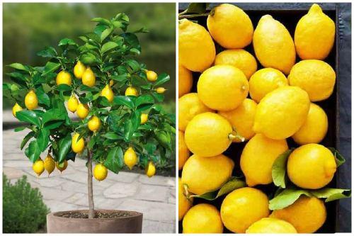 лимон мистер стюарт