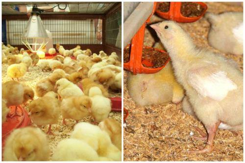 помещение для цыплят