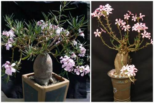 P. succulentum