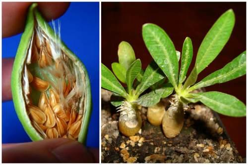 Семена и сеянцы пахиподиума