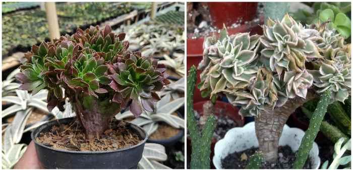 Aeonium decorum CV. 'Sunburst' кристатный