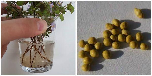 Черенки и семена