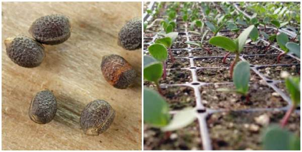 Семена и сеянцы эуфорбии